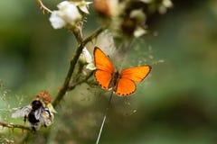 缺乏铜蝴蝶, Lycaena virgaureae 库存照片