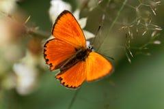 缺乏铜蝴蝶, Lycaena virgaureae 免版税库存照片