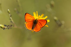 缺乏铜蝴蝶, Lycaena virgaureae 库存图片