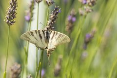 缺乏swallowtail蝴蝶Iphiclides podalirius蝴蝶o 免版税图库摄影