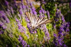 缺乏swallowtail蝴蝶& x28; Iphiclides podalirius& x29; 免版税图库摄影