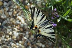 缺乏swallowtail 免版税图库摄影