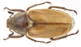 缺氧症scutellaris 图库摄影