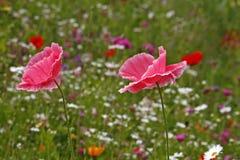 罂粟属桃红色鸦片 库存图片