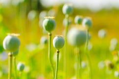 罂粟属花 库存照片