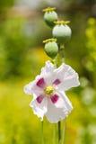 罂粟属荚和花 免版税库存照片