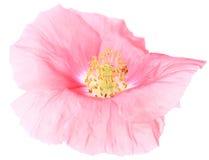 罂粟属 图库摄影
