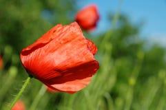 罂粟属rhoeas花 图库摄影