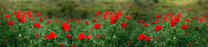 罂粟属rhoeas虞美人玉米玫瑰色领域鸦片富兰德鸦片 免版税图库摄影