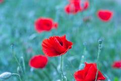 罂粟属rhoeas虞美人玉米玫瑰色领域鸦片富兰德鸦片 免版税库存照片