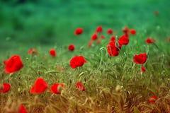 罂粟属rhoeas虞美人玉米玫瑰色领域鸦片富兰德鸦片 库存照片