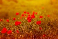 罂粟属rhoeas虞美人玉米玫瑰色领域鸦片富兰德鸦片 免版税库存图片