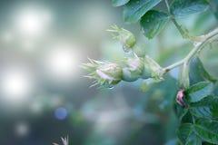 罂粟属rhoeas虞美人玉米玫瑰色领域鸦片富兰德鸦片 图库摄影