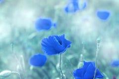 罂粟属rhoeas虞美人玉米蓝色领域鸦片富兰德鸦片 图库摄影