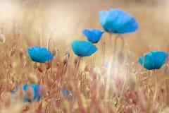 罂粟属rhoeas虞美人玉米蓝色领域鸦片富兰德鸦片 库存图片
