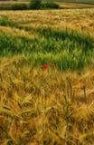 罂粟种子的 免版税库存照片