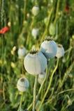罂粟种子胶囊 库存图片