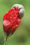 罂粟种子 免版税库存图片