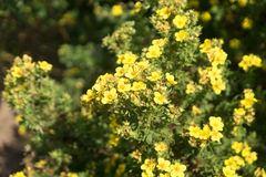 罂粟科植物黄色 免版税库存照片