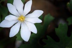 罂粟科植物-血根草属canadensis 库存照片