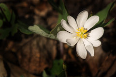 罂粟科植物-血根草属canadensis 库存图片