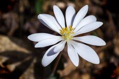 罂粟科植物-血根草属canadensis 免版税库存图片
