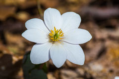 罂粟科植物-血根草属canadensis 免版税图库摄影