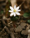 罂粟科植物 库存照片