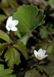罂粟科植物canadensis开花血根草属 库存照片