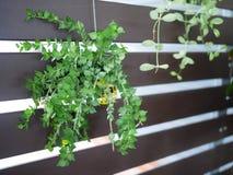 罐一束的绿色常春藤植物在棕色木墙壁上 免版税图库摄影
