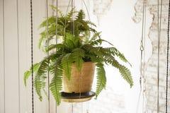罐垂悬的植物 图库摄影