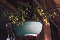罐垂悬的绿色植物 免版税库存照片