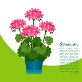罐横幅的大竺葵植物 库存例证