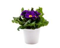 罐樱草属紫罗兰色白色 库存图片