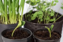 罐的发芽植物 春季的准备在庭院里 免版税库存照片