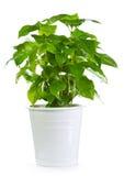 罐的咖啡植物 库存图片