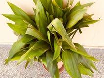 罐的大叶子植物 免版税库存照片
