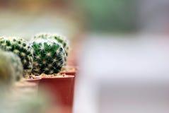 罐的微型仙人掌植物在仙人掌农场 免版税库存图片