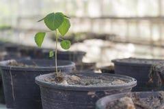 罐的植物在植物托儿所 免版税库存照片