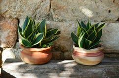 罐的百合科植物绿色植物在老木桌上和在石头 免版税库存图片
