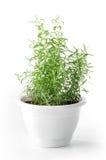 罐的罗斯玛丽植物在白色背景 库存图片