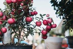 罐的蔓越桔植物在销售在哥伦比亚路花市场上,伦敦中 免版税库存图片