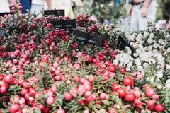 罐的蔓越桔植物在销售在哥伦比亚路花市场上,伦敦中 图库摄影