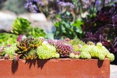 罐的集合多汁植物 图库摄影