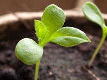 罐的年轻绿色植物 免版税库存照片