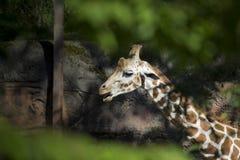 网状的长颈鹿 免版税库存照片