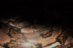 网状的Python 图库摄影