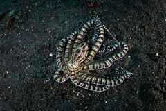 罕见的仿造章鱼爬行在黑沙子 图库摄影