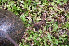 罕见的变色蜥蜴在斯里兰卡2019年 库存图片