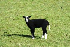 罕见的品种Balwen威尔士羊羔 免版税库存图片